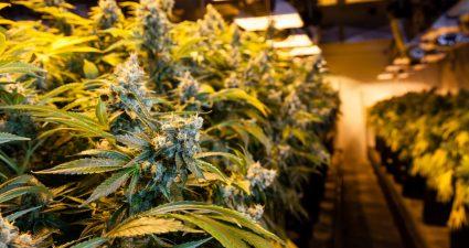 Marijuana in a grow room